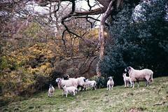 The family tree (I AM JAMIE KING) Tags: family trees tree nature countryside spring branch sheep shepherd farm yorkshire farming mother familytree lambs herd gorse lambing esk egtonbridge egton