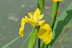 """Solaire (Brigitte ... """"Tatie Clic"""") Tags: iris fleur jaune canal avril printemps aquitaine ptales lotetgaronne fleurjaune sansretouche auborddeleau fleurdeprintemps floresauvage francesudouest 2016042527"""