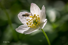 Fly in the flower - 2016-04-22 12-19-55 - DSC09111-1 (colin.mair) Tags: wild flower macro forest fly sony tube trail extension smugglers dundonald ilce6000