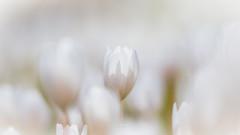 White Spring dream (nemi1968) Tags: flowers light white flower macro oslo closeup canon petals spring soft bokeh outdoor softness petal april botanicalgarden botaniskhage sanguinariacanadensis markiii canon5dmarkiii ef100mmf28lmacroisusm kanadablodurt