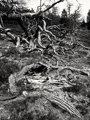 Roots (martinwozenilek) Tags: wurzeln ghrde