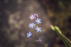 DSC_5889 (Kll at GMS) Tags: blue alaska purple forgetmenot wildflowers gypsymoonstudios akfineart kelliharlow