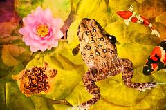 It's A Pond Life (North Carolina Arboretum, Asheville) (*Ken Lane*) Tags: usa plant flower nature fleur beautiful wow wonderful geotagged fun cool pond colorful unitedstates asheville turtle awesome flor sigma northcarolina arboretum funky frog toad pinkflower stunning lovely lilypad frosch botanicalgarden grenouille koifish palaka wnc pondlife westernnorthcarolina springseason ashevillenc sigmalens    bentcreek fr ashevillenorthcarolina northcarolinaarboretum texturebackground fiorire  ncarboretum nikonsigma sigma105mmmacrolens thenorthcarolinaarboretum  topazsimplify topazsoftware topazbuzsim 105mmprimelens  105sigmaprimelens geo:lat=3549811458 geo:lon=8260804922 itsapondlife