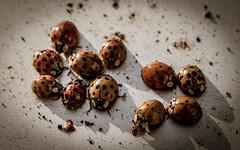 ladybirds 02 (The HH) Tags: sunshine metal bug beetle dirt ladybird ladybug ladybeetle bunt kfer marienkfer