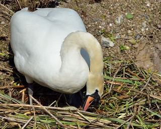 2016 04 12 101 KA Canal, nesting swans