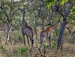 Giraffes, Fathala Reserve, Senegal (**Anik Messier**) Tags: africa nature animals reserve safari giraffes senegal animaux afrique wildness rserve snral