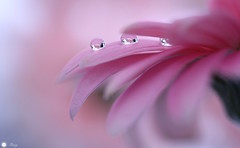 A special moment (Trayc99) Tags: pink flower macro water floral droplets petals drops softness delicate waterdrops floralart beautyinnature softbackground beautyinmacro