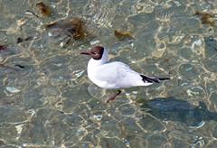 Zingst - Mwe in der Ostsee (www.nbfotos.de) Tags: seagull gull balticsea mwe ostsee darss zingst