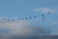 03. Sandhill cranes (Misty Garrick) Tags: nebraska crane migration alda sandhill sandhillcranes sandhillcrane aldane