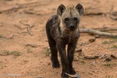 Baby hyena on Timbavati Reserve, Kruger National Park, South Africa (Flvio Photography) Tags: southafrica za mpumalanga krugerpark