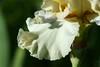 Fleur de lis (Shutter_Hand) Tags: iris usa naturaleza flower macro fleur flora texas sony flor jardin botanico blomma fleurdelis alpha 花 blume fiore secretgarden çiçek flordelis weatherford 꽃 kukka цветок mineralwells botanicalpark jardinbotánico jardinsecreto parquebotánico a99 फूल clarkgardens lenscraft texasgem texasjewel sonyaf100mmf28macro miguelmendozamuñoz sonyalphaa99 slta99