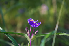 Sweet Kate (axi11a) Tags: park morning atlanta georgia outdoors morninglight us purple unitedstates walk atl trail stonemountain spiderwort sweetkate