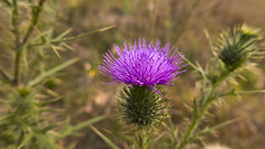 Thistle (maerphoto) Tags: sky night stars weed thistle canberra act