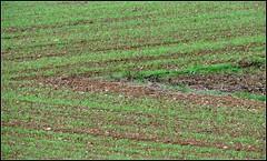 es grnt so Grn (horidole) Tags: landwirtschaft grn landschaft schwarzwald blackforest frhling acker badenwrttemberg frhjahr getreide fortnoire haiterbach berndsontheimer
