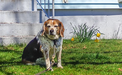 DSC02065 (johnjmurphyiii) Tags: usa dog beagle connecticut cromwell fletch originaljpeg johnjmurphyiii 06416 sonycybershotdsch90