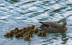 Mallard mom with brood (WMJ614) Tags: family cute nature water swim children duck wildlife flock duckling mother feather boilingsprings mallard brood