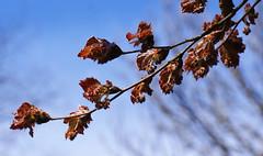 Rotbuche Rohanii / cutleaf purple beech (Fagus sylvatica Rohanii) (HEN-Magonza) Tags: nature germany deutschland flora natur springtime frhling rheinlandpfalz buche rhinelandpalatinate botanischergartenmainz mainzbotanicalgardens rotbucherohanii cutleafpurplebeech fagussylvaticarohanii