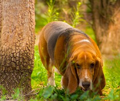 Skylar (sue2028) Tags: dog pet tree cute green animal garden outdoors furry basset lowrider bassethound longears