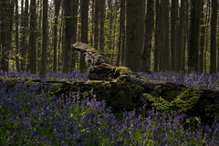 Fallen tree (rvanhegelsom) Tags: wood flowers blue trees plant flower color colour tree green nature floral beautiful bluebells fairytale forest landscape spring woods flora colorful belgium natural colourful sequoia halle hallerbos
