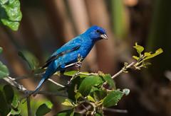 Blues Traveler (PeterBrannon) Tags: bird nature florida wildlife perched bluebird fortdesoto indigobunting passerinacyanea