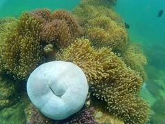 Chumphon, Thailand (ploynatchana) Tags: sea fish beautiful coral thailand underwater snorkel snorkeling seaanemone chumphon sjcam sj4000wifi