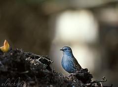 USA_5346 (Weinstckle) Tags: vogel heckenbraunelle