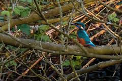 Kingfisher (Wessel...) Tags: bird netherlands canon rotterdam nederland vogels kingfisher kralingen ijsvogel kralingseplas