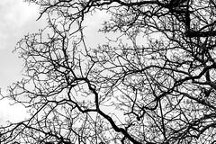 Spot the birdy! (ResiSambesi) Tags: blackwhite ste kontrast mainz baum birdy stadtpark schwarzweis halsbandsittich kontrastreich canoneos650d spotthebirdy