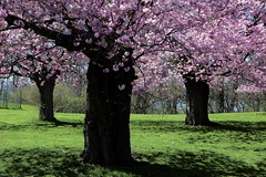 Cherry Blossoms (klauslang99) Tags: nature grass cherry spring blossoms happiness northamerica naturalworld klauslang