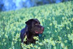Leo der Labrador (Klaus R. aus O.) Tags: sonnenuntergang pflanze gelb blume primula echte frhling primeln schlsselblume veris himmelsschlssel wiesenschlsselblume frhlingsschlsselblume primelgewchse wiesenprimel pflanzenart krautige