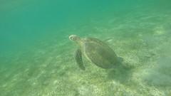Swimming with a green sea turtle (benjaminfish) Tags: beach mexico riviera maya tulum yucatn peninsula roo quintana 2016