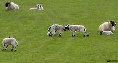 Spring Lambs (William MacGregor) Tags: field animal animals canon landscape scotland countryside sheep outdoor farm ngc farming young farmland lamb lambs 5d dslr grassland damncool 50d yourbestoftoday macgregorwilliam