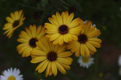 _DSC2095 (Osamu1965) Tags: flower japan zeiss garden spring sony contax jp   okayama     a7m2  carlzeissvariosonnart2870mmf3545mm