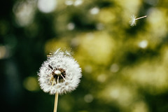 Flying away (guerrini_stefano) Tags: flower nature composition nikon moments blowing natura blow dandelion soffione dentedileone nikonphotography