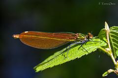 ... (Ferruxe65) Tags: naturaleza insectos macro nature dragonfly wildlife insects tenorio macrofotografa canonef100macro canoneos7d
