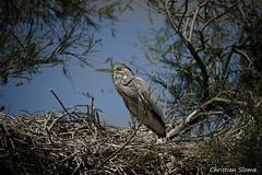 _DSC0519 (chris30300) Tags: france heron de pont parc oiseau camargue gau saintesmariesdelamer flamant provencealpesctedazur ornithologique