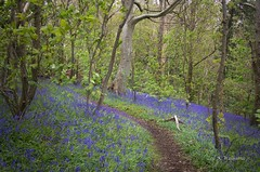 Bluebell Woods (Zoe K Williams) Tags: wood uk flowers blue trees plant flower green nature bluebells wales forest woodland landscape countryside spring outdoor serene hyacinthoides