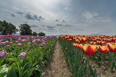 tulip rows (JonathanIchikawa) Tags: flowers tulips abbotsford tulipfestival