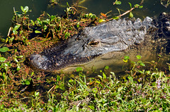 American Alligator Head Shot DSC_0593_edited-1 (John Dreyer) Tags: nikon reptile alligator headshot crocodilian prehistoric americanalligator nikond5100 photocreditjohnjdreyer copyright2016johnjdreyer