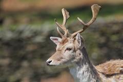 Fallow Deer 200416 (9) (Richard Collier - Wildlife and Travel Photography) Tags: animal fauna wildlife naturalhistory deer british fallowdeer mammals whitefallowdeer bradgatedeerpark