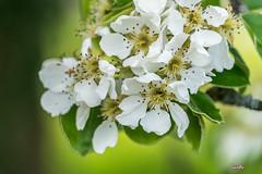 White Blossom (Swiss_PIX) Tags: white tree cherry schweiz switzerland spring suisse suiza blossom sony sua svizzera blte weiss aargau baum cherrytree kirsch frhling switserland blten kirschen kirschbaum ilce svizra szwajcaria vcarsko seetal lakevalley vice sel24240 a7r2 ilce7rm2