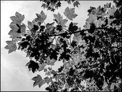 20130715-407 (sulamith.sallmann) Tags: trees bw plants plant france tree nature leaf frankreich europa natur pflanze pflanzen sw normandie blatt bltter bume baum manche fra leaftree froschperspektive lahague bassenormandie ahornblatt laubbaum ahornbaum sulamithsallmann laubbume treauville