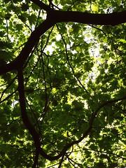 Komorebi III (Chancelrie) Tags: plant forest maple outdoor acer komorebi