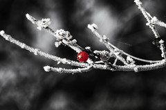 Red (Klaus Ficker) Tags: bw usa cold color sc canon frozen frost berries kentucky select eos5dmarkii kentuckyphotography klausficker