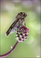 golosa (- JAM -) Tags: naturaleza flower macro nature insect nikon flor explore jam mariposas d800 insecto macrofotografia explored lepidopteros juanadradas