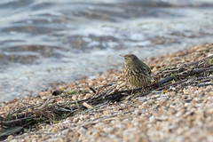 Rock Pipit (ToriAndrewsPhotography) Tags: bird rock photography andrews wildlife reserve reservoir trust tori essex colchester abberton pipit