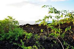 DSC33_3409 (heartinhawaii) Tags: ocean sea seascape landscape hawaii lava evening coast mar seaside pacific shoreline maui shore kai greenplants lavafield 808 lavarocks youngplants ahihicove southmaui nikond3300 heartinhawaii mauiinnovember ahihinaturereserve molokinisilhouette plantsinlavafield