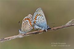 Silver-studded Blue  Plebejus argus (davolly59) Tags: blue macro butterflies plebejusargus silverstuddedblue britishbutterflies preesheathinshropshire