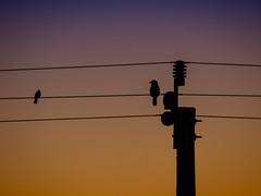 Pickup line (Goatslunch) Tags: sunset bird powerlines kingfisher kookaburra