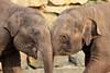 Ravi en Radza Jr. (K.Verhulst) Tags: elephant ravi elephants nl emmen noorderdierenpark olifanten dierentuinemmen asiaticelephants radza aziatischeolifanten radzajunior